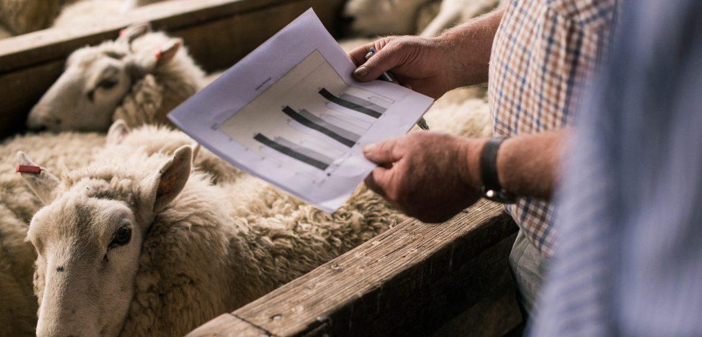 Looking at sheep performance